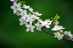 Rama de Sakura de la primavera Imagen de archivo libre de regalías