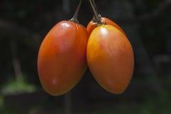 Rama de tomate de árbol. Tres tomates de árbol  maduros Stock Photography