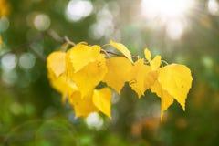 Rama de un árbol de abedul con las hojas amarillas Imagen de archivo libre de regalías