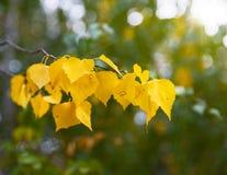 Rama de un árbol de abedul con las hojas amarillas Fotos de archivo