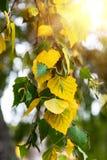 Rama de un árbol de abedul con las hojas del amarillo y del verde Imagenes de archivo