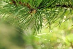 Rama de un árbol conífero con las agujas y un web de araña en un contraluz en un fondo verde borroso Fotos de archivo libres de regalías