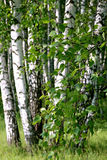 Rama de un árbol de abedul Foto de archivo libre de regalías