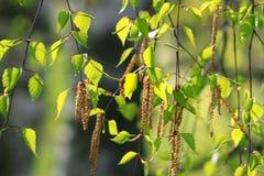 Rama de un árbol de abedul de la primavera Foto de archivo