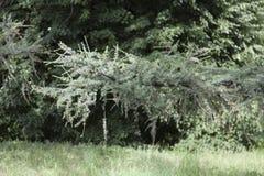 Rama de un árbol de alerce Fotos de archivo