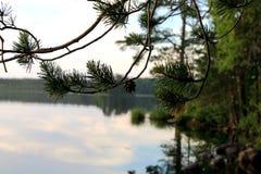 Rama de un árbol de pino con un cono Fotografía de archivo libre de regalías