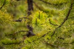 Rama de un árbol de navidad después de una lluvia, descensos del agua en agujas verdes y pequeños topetones fotografía de archivo libre de regalías