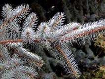 Rama de un árbol de navidad en el cierre de la nieve para arriba Fotografía de archivo libre de regalías
