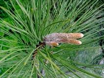 Rama de un árbol de navidad verde con los conos Fotografía de archivo