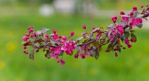 Rama de un manzano floreciente Foto de archivo