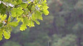 Rama de un roble en la lluvia del verano almacen de video