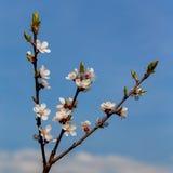 Rama de una manzana floreciente Imágenes de archivo libres de regalías