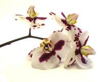 Rama de una orquídea en un fondo blanco Fotografía de archivo libre de regalías