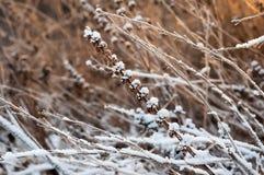 Rama de una planta con nieve Fotografía de archivo libre de regalías