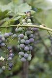 Rama de uvas en verano tardío Foto de archivo