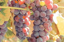 Rama de uvas maduras púrpuras, nutrición sana Fotos de archivo