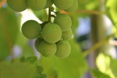 Rama de uvas verdes jugosas imagenes de archivo