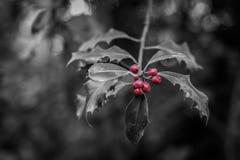 Rama de Winterly con las bayas rojas imágenes de archivo libres de regalías