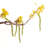 Rama del álamo blanco de la primavera Imagenes de archivo