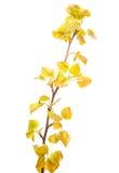 Rama del álamo blanco de la primavera Imagen de archivo libre de regalías