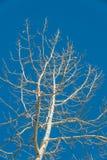 Rama del árbol blanco con el cielo azul Fotos de archivo