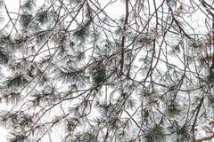 Rama del árbol conífero Imágenes de archivo libres de regalías