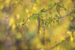 Rama del árbol de abedul con las hojas y los amentos jovenes del verde Fotografía de archivo libre de regalías