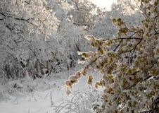Rama del árbol de abedul congelado Imagen de archivo
