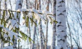 Rama del árbol de abeto cubierta con nieve contra el contexto de un b Fotos de archivo libres de regalías