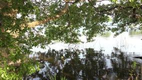 Rama del árbol de aliso japonés almacen de metraje de vídeo