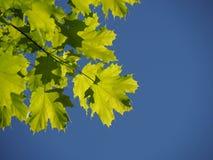Rama del árbol de arce en el cielo azul foto de archivo libre de regalías