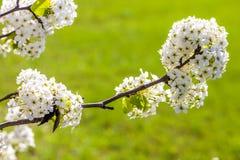 Rama del árbol de la flor de cerezo en la plena floración con un verde claro Imagenes de archivo