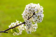 Rama del árbol de la flor de cerezo en la plena floración con un verde claro Fotos de archivo libres de regalías