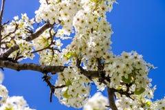 Rama del árbol de la flor de cerezo en la plena floración contra un azul brillante Fotos de archivo libres de regalías