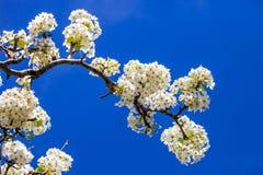 Rama del árbol de la flor de cerezo en la plena floración contra un azul brillante Imágenes de archivo libres de regalías