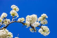 Rama del árbol de la flor de cerezo en la plena floración contra un azul brillante Fotografía de archivo libre de regalías