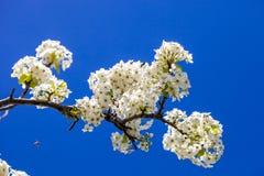 Rama del árbol de la flor de cerezo en la plena floración contra un azul brillante Imagenes de archivo