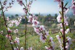 Rama del árbol de melocotón en primavera Imagenes de archivo
