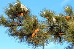 Rama del árbol de pino con los conos y de la nieve en un cielo azul del fondo Imagen de archivo