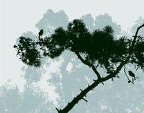 Rama del árbol de pino mediterráneo Fotos de archivo