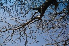 Rama del árbol en el cielo azul Fotografía de archivo libre de regalías
