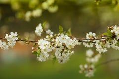 Rama del árbol floreciente Foto de archivo