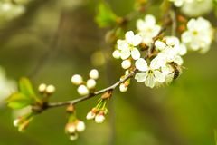 Rama del árbol floreciente Imagenes de archivo