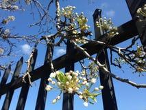 Rama del árbol frutal en el flor que cuelga sobre la cerca del metal en Jersey City, NJ en primavera Foto de archivo