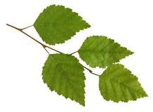 Rama del abedul con las hojas aisladas en el fondo blanco Imagenes de archivo