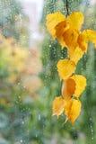 Rama del abedul con las hojas amarillas Imagen de archivo libre de regalías