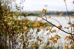 Rama del abedul con las hojas del amarillo y del lago en fondo Bosque del otoño por el lago Fotografía de archivo