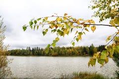 Rama del abedul con las hojas del amarillo y del lago en fondo Bosque del otoño por el lago Imagen de archivo libre de regalías