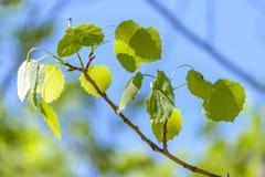 Rama del abedul con las hojas brillantes contra el cielo Fotos de archivo