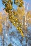 Rama del abedul con las hojas de otoño Fotografía de archivo libre de regalías